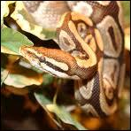 Serpent qui ne mort pas mais qui étouffe.
