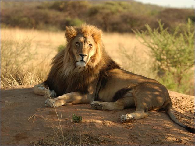 En moyenne un lion pèse entre 150 à 190 kg. Le plus gros lion sauvage abattu en Afrique en 1936 était...