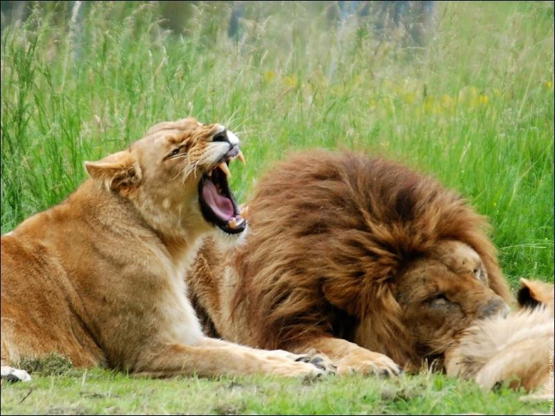 Un lion peut manger jusqu'à ...