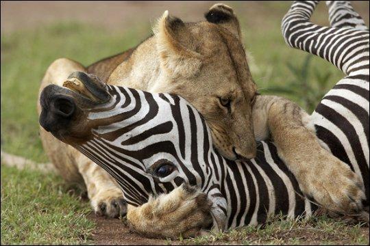 Ils s'attaquent à de grosses proies comme les zèbres, ...