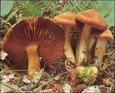 Quel est ce champignon mortel ?