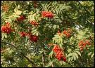Comment se nomme cet arbre orné de magnifiques baies rouges orangées ?