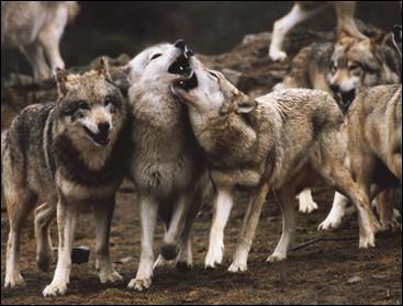 Dans la forêt, les loups occupent le même territoire...