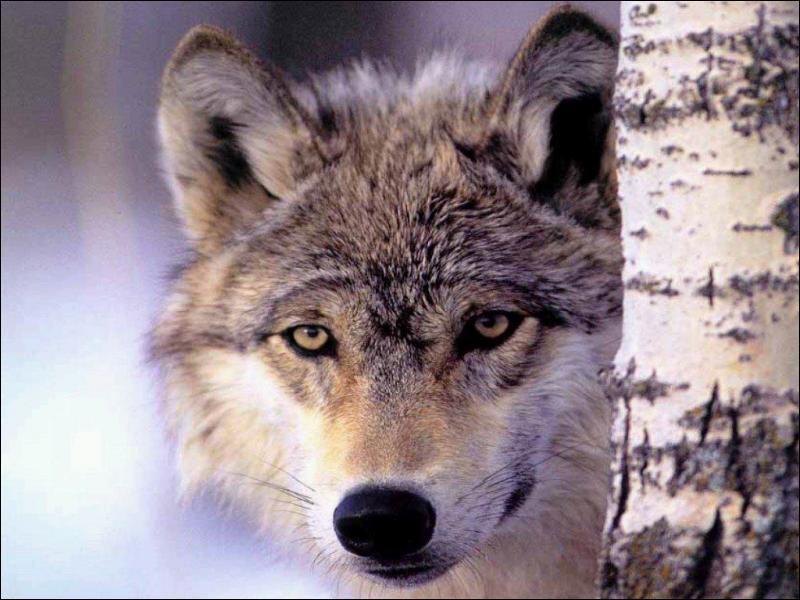 Le loup gris est l'ancêtre du chien domestique... .