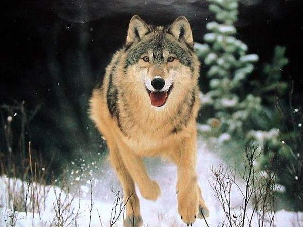 5 infos sur... le loup