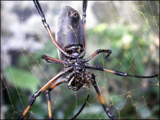 La néphile est une grosse araignée qui vit sur les hauteurs de La Réunion qui peut atteindre 20cm. Malgré son aspect menaçant elle est inoffensive. Son nom local est 'bibe'. Mr bibe est ...