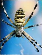 Commune en Europe cette araignée est facilement reconnaissable au dessin en forme de croix sur son abdomen. La toile qu'elle tisse peut atteindre un mètre. Il s'agit de ...