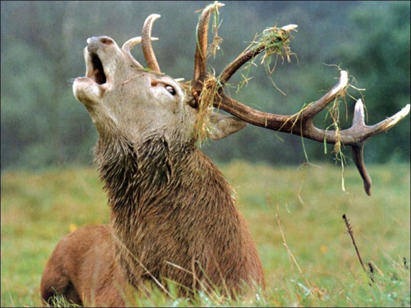 Quel est le seul animal parmi les suivants qui ne porte pas de 'bois' ?