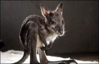 Où grandissent les bébés kangourous ?