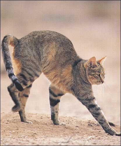 Le chat domestique descend-il du chat sauvage ?