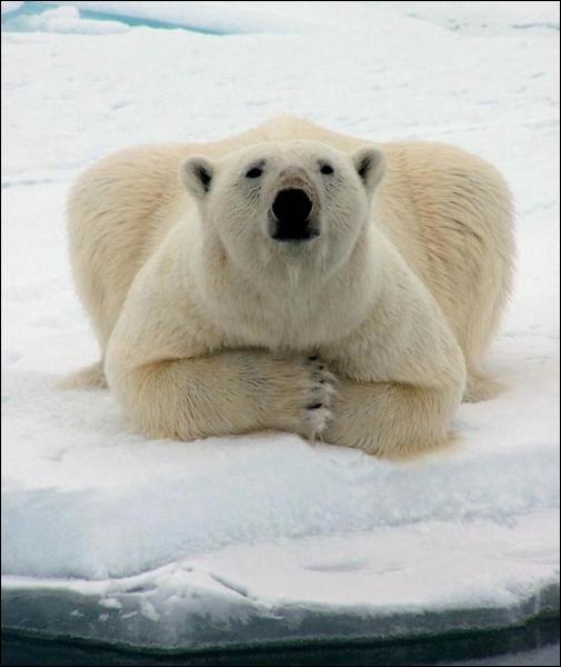 Pourquoi les ours blancs n'ont pas froid aux pieds ?