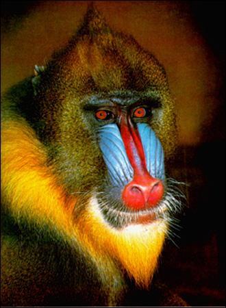 Comment appelle t on les singes qui ont le museau bleu et rouge