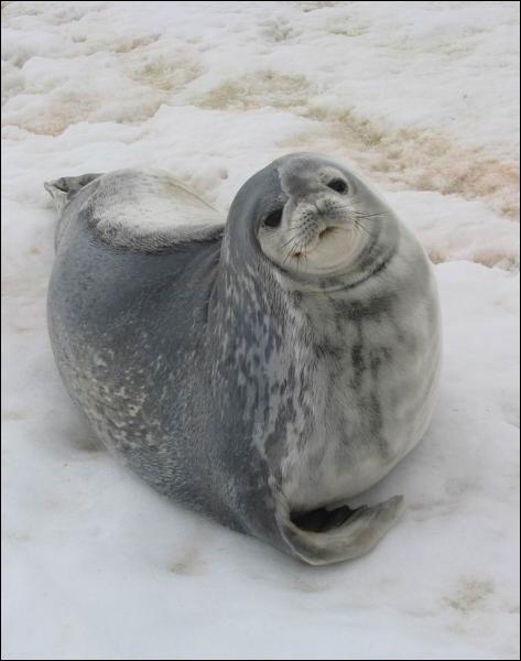 Combien de temps un phoque vit-il en moyenne ?