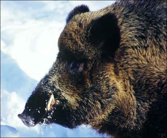 Quizz les animaux 13 quiz animaux mammiferes petits - Comment cuisiner du sanglier ...