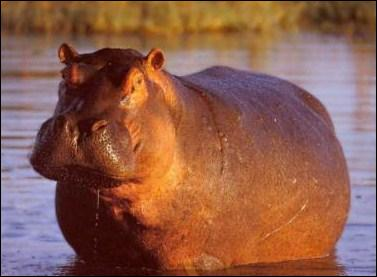 Combien pèse environ un hippopotame ?