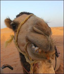 Combien de jours un chameau peut-il rester sans boire en hiver ?