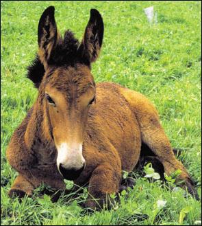 Comment s'appelle le petit du mulet ?