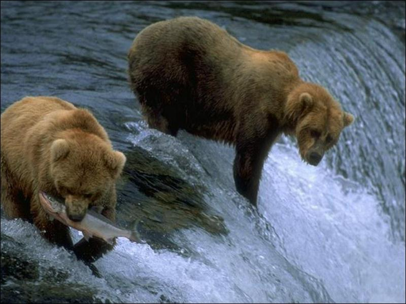 Quelle race d'ours est la plus douée pour la natation ?