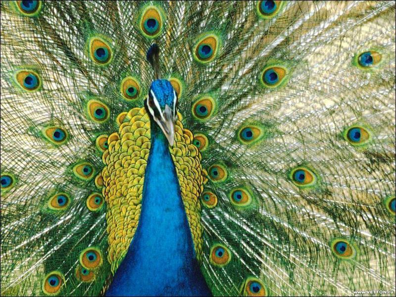 Chez les paons, qui a le plus beau plumage ?