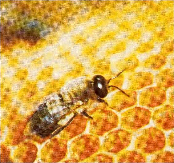 Qui sont les mâles de la reine des abeilles ?