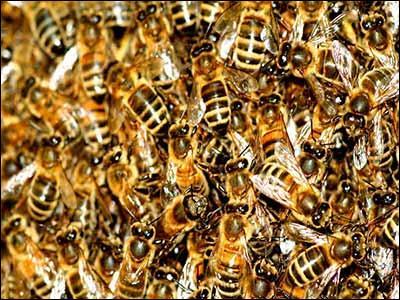 Combien dix abeilles pèsent-elles ?