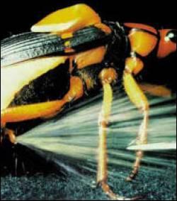 Quel insecte se défend par des projections de liquide (qui provoque des cloques) suivies de détonation ?