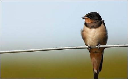 Quel oiseau gazouille ?