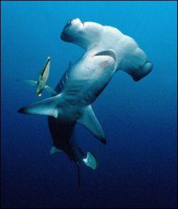 Quels sont les requins qui portent le nom d'un outil ?