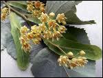 Plante connue pour ses vertus calmantes et dont l'infusion porte le même nom :