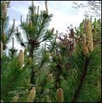 Quelle infusion réputée pour les infections pulmonaires peut-on faire avec cette plante ?