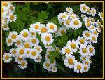 Quelle infusion digestive obtient-on avec ces fleurs ?