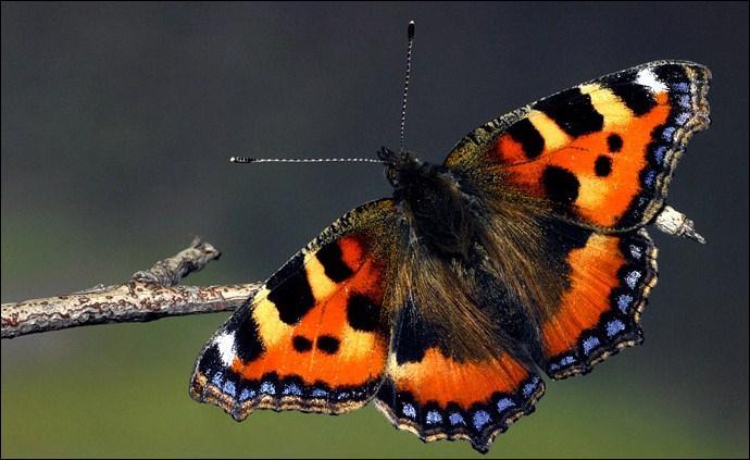 Combien d'espèces de papillons y a-t-il ?