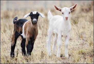 Le petit de la chèvre est le...