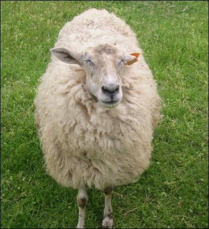 La mère de l'agneau c'est ...