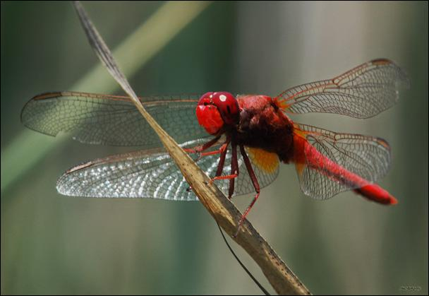 Les libellules piquent-elles ?