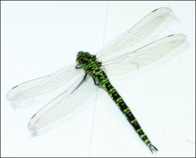 Combien de pattes la libellule a-t-elle ?