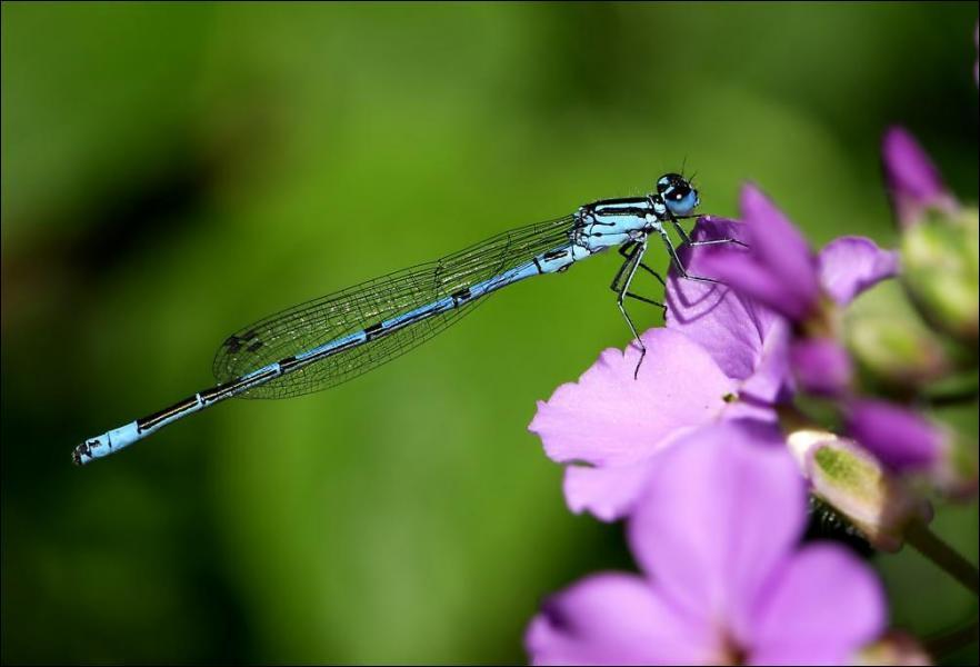 Comment s'appellent les proches parentes des libellules ?
