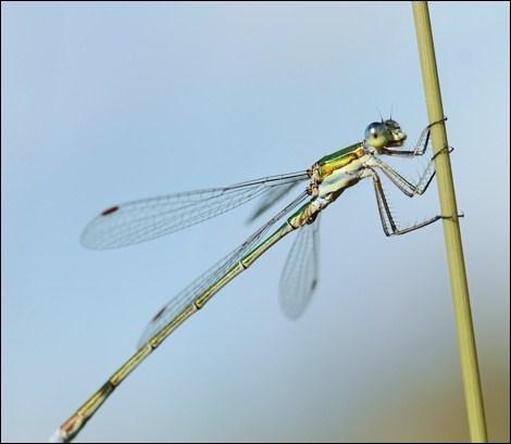 En une seconde, la libellule bat des ailes :