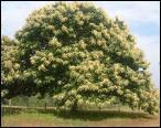 Quel est cet arbre qui donne un fruit dans une bogue ?