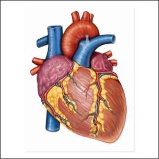 Le coeur est un muscle qui pompe :