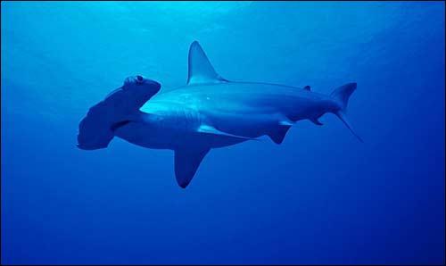 Comment s'appelle ce requin, reconnaissable à sa tête ?