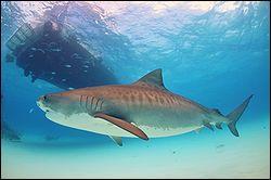Comment s'appelle ce requin très menacé ?