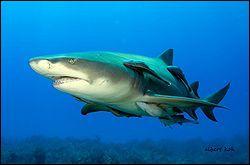 Comment s'appelle ce requin, plus jaune que les autres ?