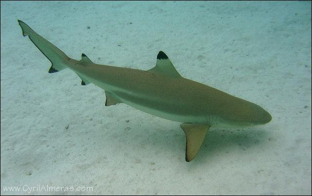 Comment s'appelle ce requin assez innofensif ?