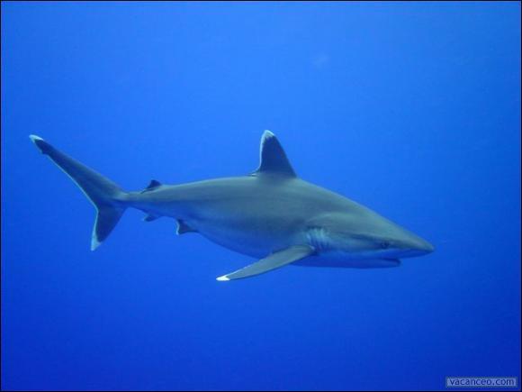 Comment s'appelle ce requin qui peut mesurer jusqu'à 3m ?