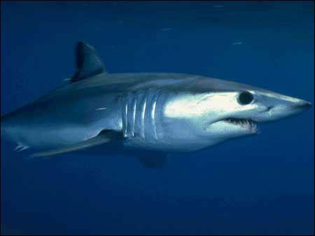 Comment s'appelle ce requin, aussi appelé requin taupe bleu ?