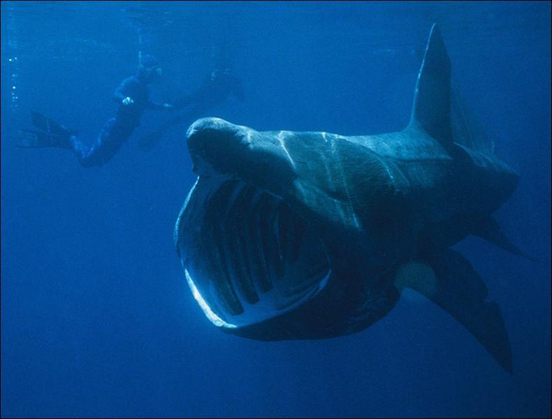 Comment s'appelle ce requin avec une très grosse mâchoire ?