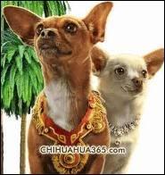 Quel est le nom de la coquette chihuahua habituée au luxe, de Berverly hills