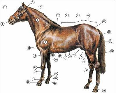 Parties du corps du cheval