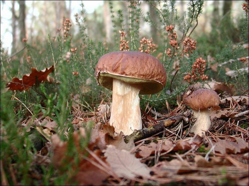 Les jeunes champignons sont toujours comestibles ?